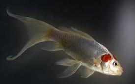 jenis ikan koki Comet goldfish putih