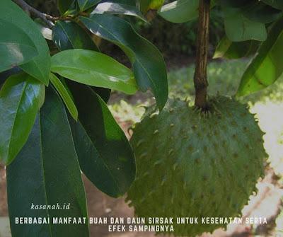 Berbagai manfaat buah dan daun sirsak