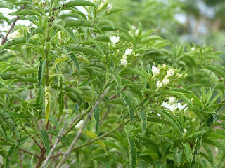 Bois de Chenille - Clerodendrum heterophyllum - Volkameria heterophylla - Volkamère hétérophylle