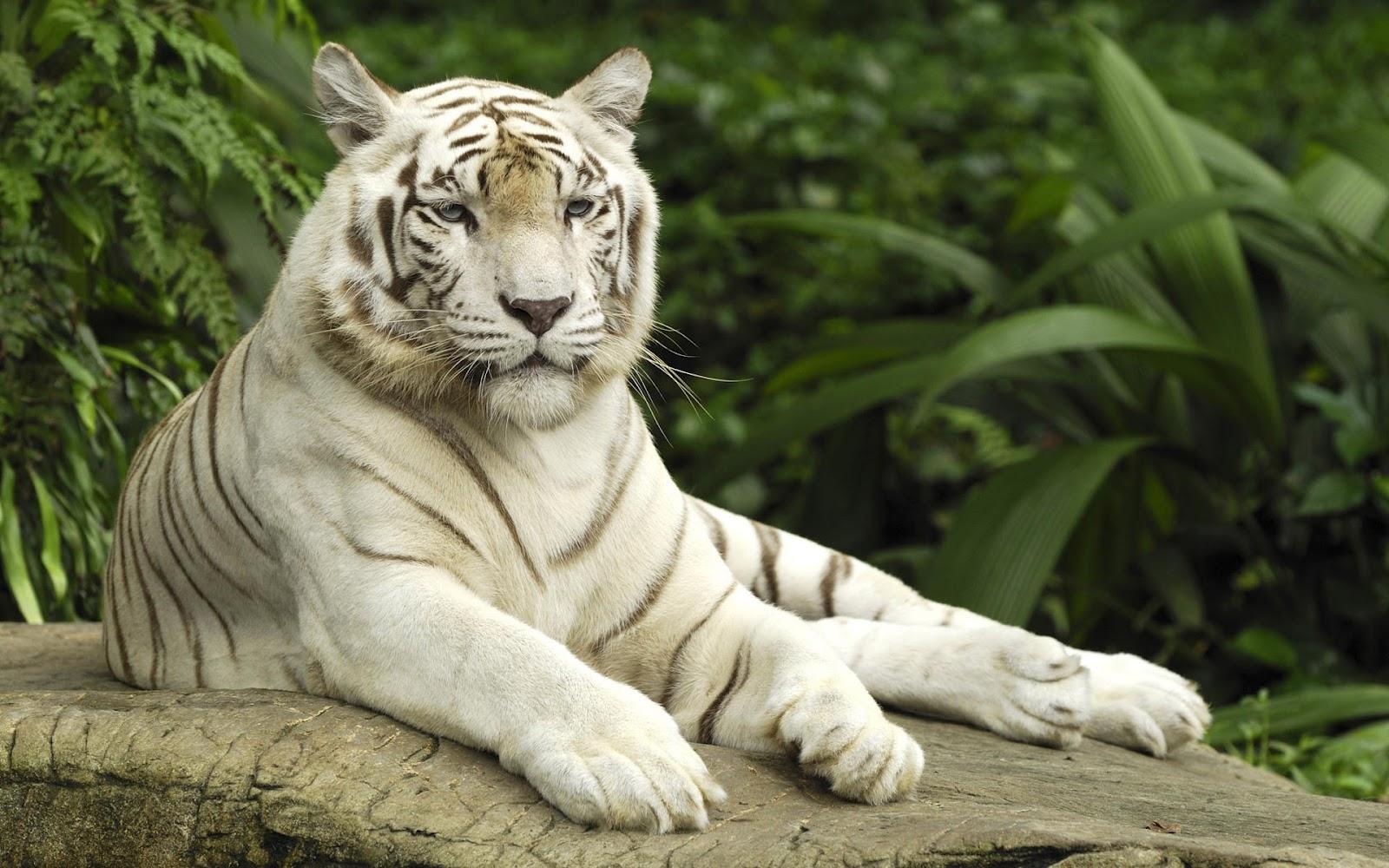 White Tiger Wallpaper 1080p Beautiful 1080p HD Tig...