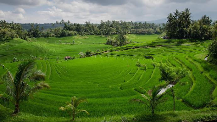 Wallpaper: Paddy Field on Bali