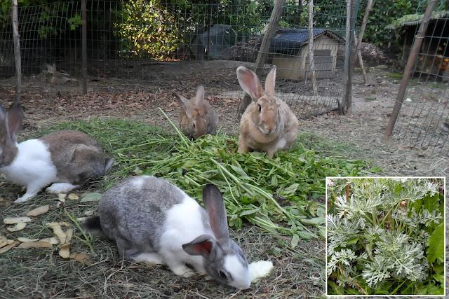 artemisia conigli