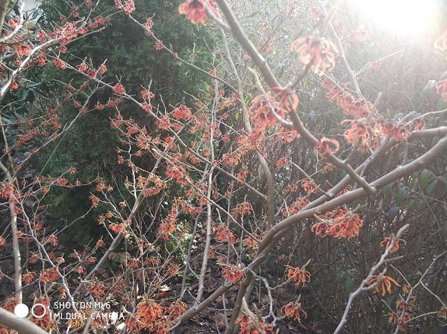 kwitnący oczar, zimowe kwiaty