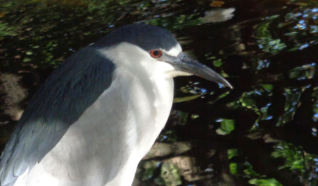 Black-Crowned Night Heron at Flamingo Gardens in Davie, FL