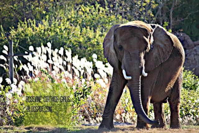 Image of an elephant walking at the Nashville zoo