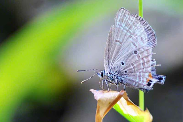 Chilades pandava, Plains Cupid, butterfly