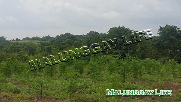 moringa-plants-moringa-farm