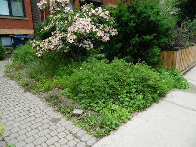 Leslieville front garden weeding cleanup before by Paul Jung Gardening Services Toronto