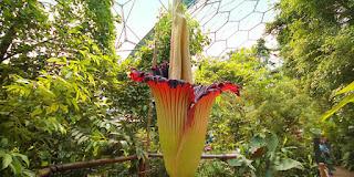 Amorphophallus Titanium (Corpse Plant): Bunga Terbesar Di Dunia Yang Hanya Mekar 40 Tahun Sekali