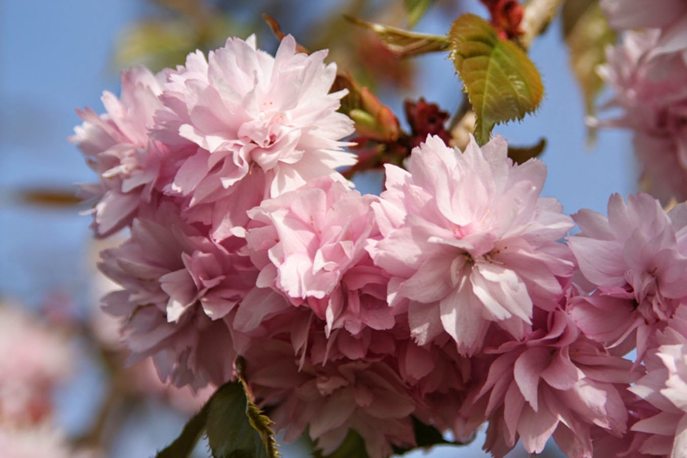 double pink flowers of cheal's weeping cherry