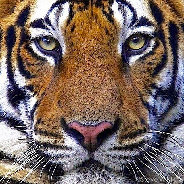 There Are Only 3200 Tigers Left In The Wild National Geographic