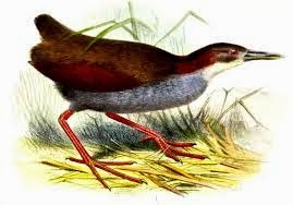Red winged Wood-rail