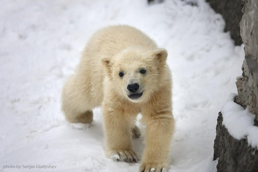 16.  Photograph A polar bear baby, walking on fresh snow by sergei gladyshev