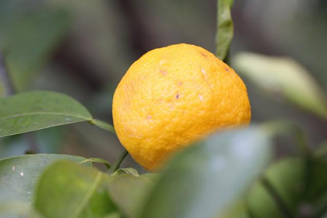 都筑区正覚寺の柚子の実