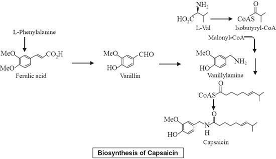 Biosynthesis of Capsaicin