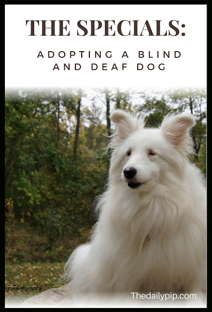 Adopting and training a double merle, blind and deaf dog and why you adopt adopt one, too