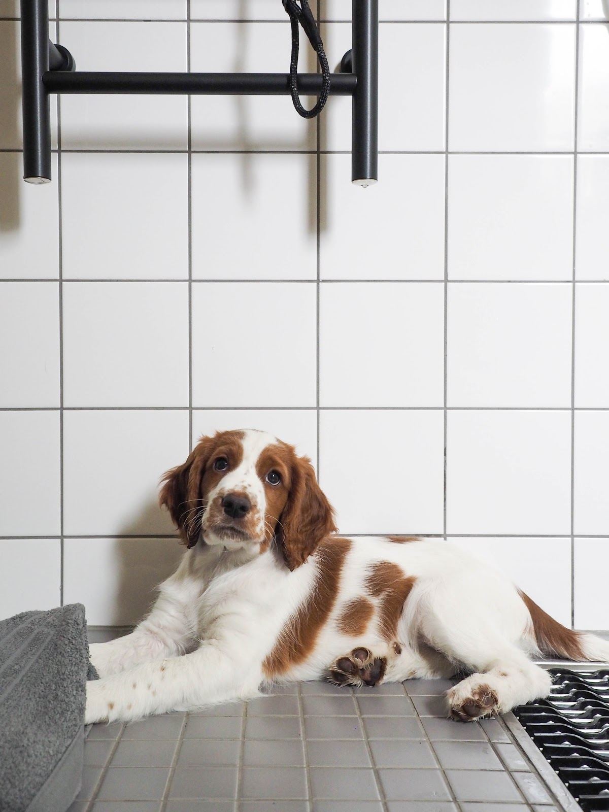 Koiranpentu, Walesinspringerspanieli
