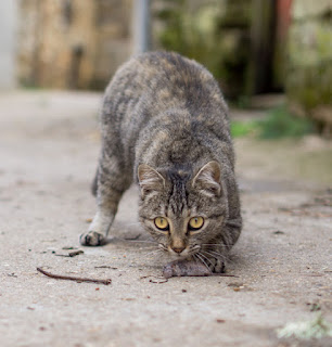 Put Feral Cats to Work, Not to Sleep