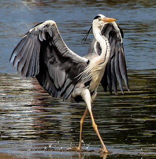 'Grey Heron Stepping-out' - Woodbridge Island, Cape Town