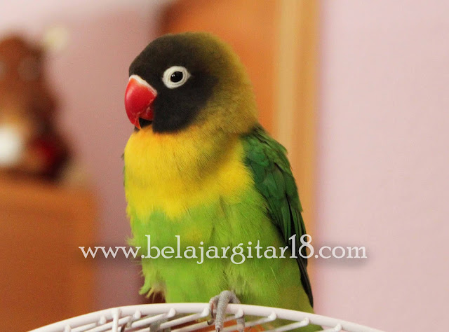 Lovebird Topeng (Agapornis Personata)