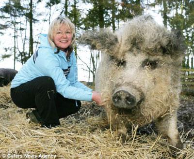 62+ Gambar Babi Anggora Paling Hist