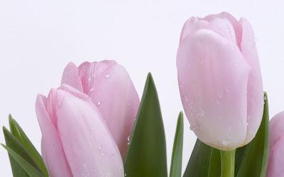 tulipanes-de-color-rosa