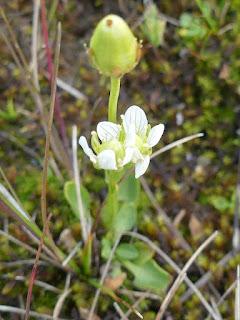 Parnassie parviflore - Parnassia parviflora