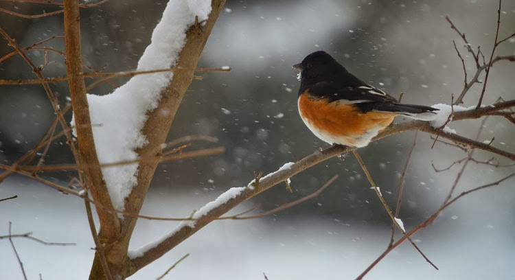 A male Eastern (Rufous-sided) Towhee looks stately as snowflakes all around him.