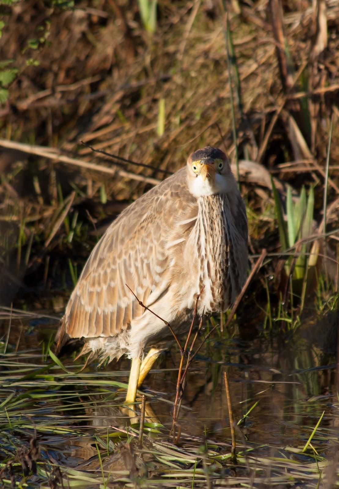Purple Heron - Capel Gwyn, Anglesey