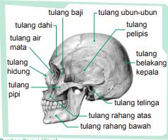Bagian-Bagian Rangka Kelapa Tengkorak Pelindung Otak dan Tengkorak Bagian Muka