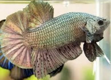 Dasar Pelatihan Ikan Cupang Adu