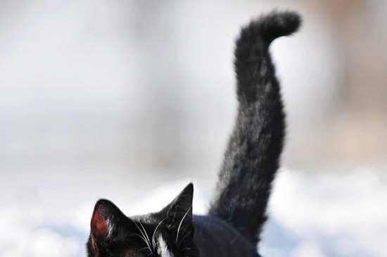 Penyebab Ekor Kucing Bengkok