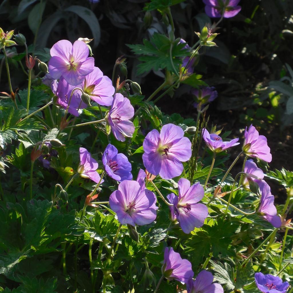 Cagouille 39 s garden la cagouille vous conseille le g ranium rozanne - Quand rentrer les geraniums ...