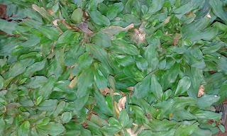 Jual Rumput Gajah Mini di Bsd,Jual Rumput Gajah Paitan (Gajahan) di Bsd,Jual Rumpput Jepang di Bsd,Jual Rumput Taman Murah di Bsd,Tukang Taman Bsd