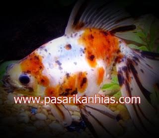 Ikan hias Mas Koki Fantail