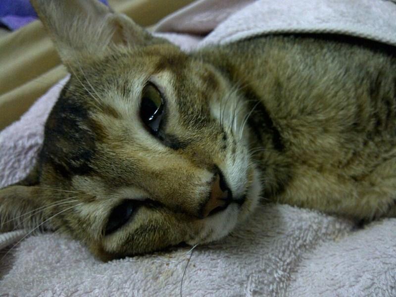 Panleukopenia pada Kucing