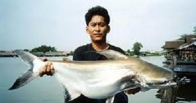 Resep Umpan Mancing Ikan Patin Sungai