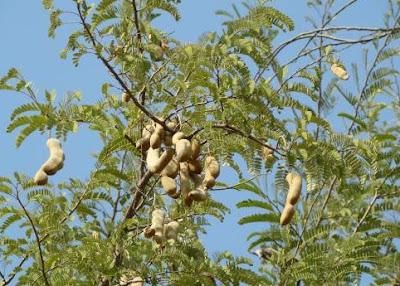 इमली का पेड़