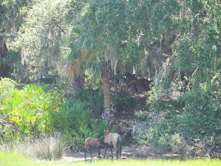 a little horse family on Cumberland Island Georgia
