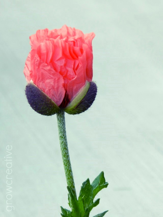 Coral Poppy Flower