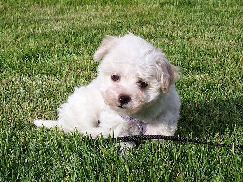 Everything about your Havanese - LUV My dogs