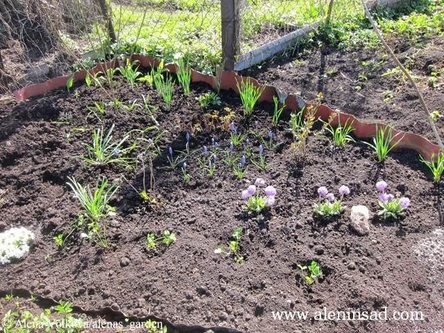 аленин сад, aleninsad, целина, весна, сныть, вьюнок, сорняки, борьба с сорняками, нарциссы, мускари, примула, сельдерей, примула комарова, форсайтия, арония
