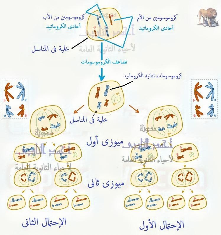 جهود العلماء لمعرفة المادة الوراثية للكائن الحى – الحمض النووى ديؤكسى ريبوز – DNA – نواة – صبغيات – بروتينات – جينات - الإنقسام الميوزى