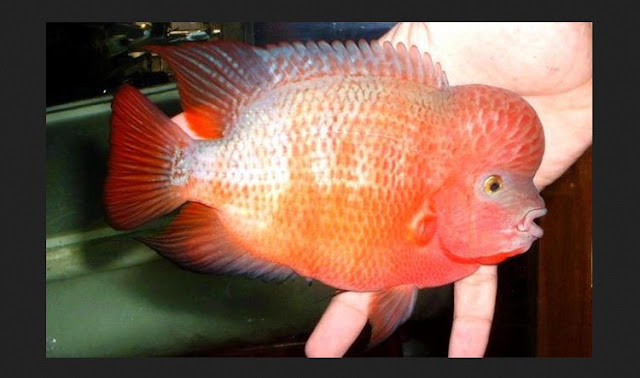 Dunia Ikan Hias - IKAN LOUHAN SUPER RED SYNSPILLUM (SRS)