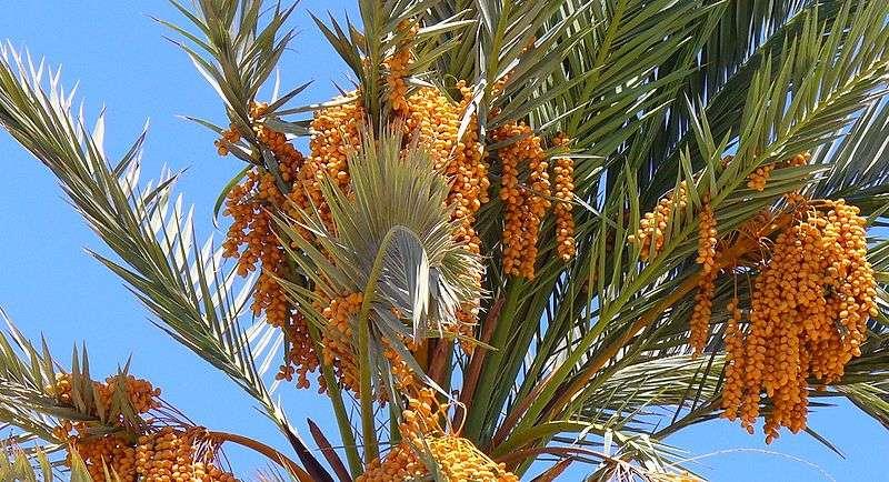 Palma Daktylowa Z Pestek Bambusowy Sen Wszystko O