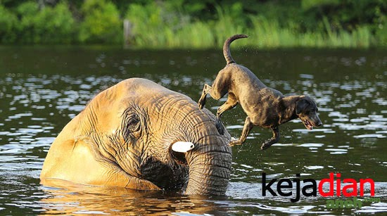 Bubbles elephant, Bella Labrador Dog
