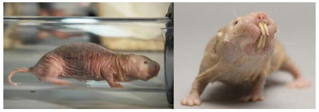 ratos-toupeira-pelados à prova de câncer