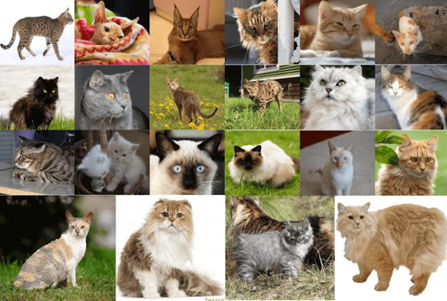 Domestic Cat Breeds
