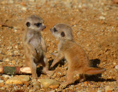 Erdmännchen, meerkats, meerkatte, surikater, Surykatki, Сурикаты, Мееркатс, podgane, suricatas, stokstaartjes, Мееркат, surikaty, сурікати, Meerkat chayon, 貓鼬,