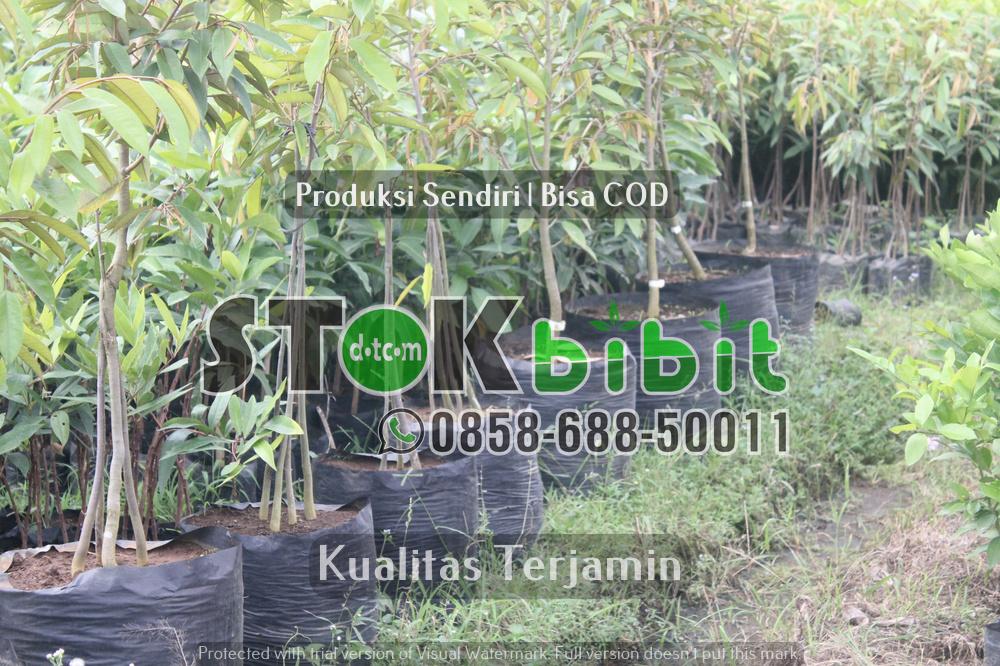 Biji Mahoni Untuk Herbal dan Benih Mahoni Bersertifikat     Grosir     berkualitas